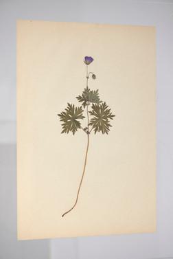 Geranium erianthum 1
