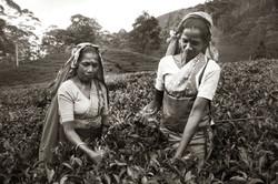 Sri Lanka - Tea Fields
