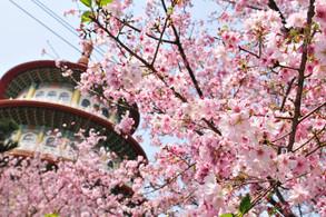 嚐櫻の東京櫻花季限定