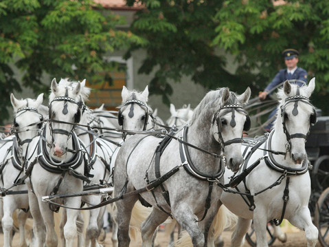 The famous Czech Kladruber horses