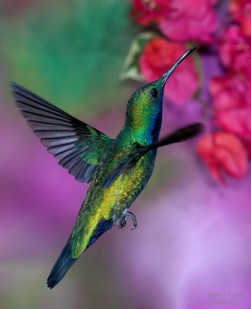 Hummingbirds of the Caribbean
