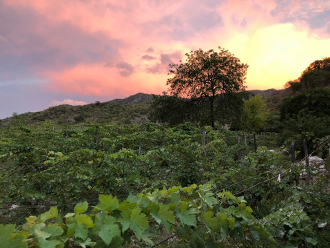 The Caribbean's only vineyard
