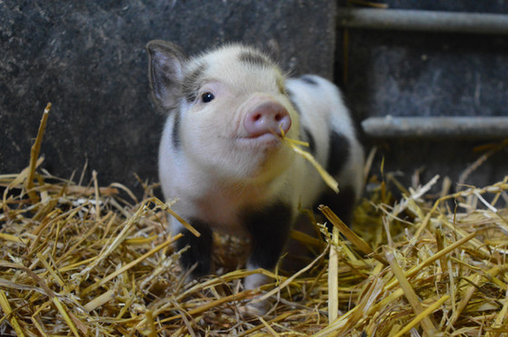 One of our micro piglets