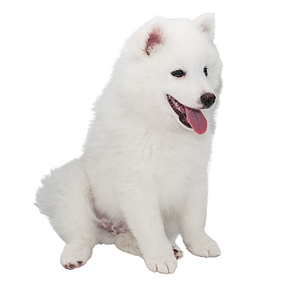 American Eskimo (Toy).png
