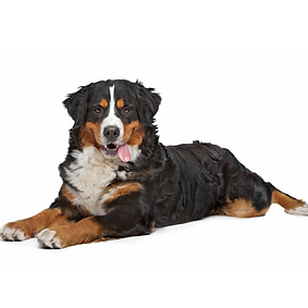 Bernese Mountain Dog.png