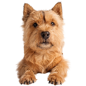 Norwich Terrier.png