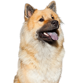 Eurasier.png