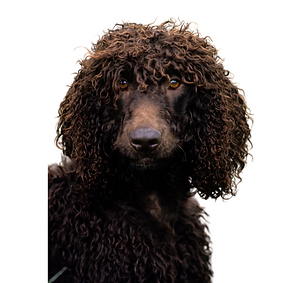 Irish Water Spaniel.png