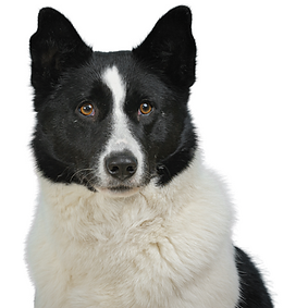 Karelian Bear Dog.png