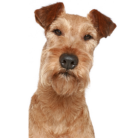 Irish Terrier.png
