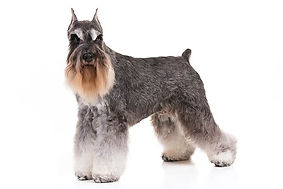 Miniature-Schnauzer-On-White-01.jpg