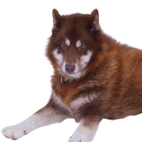 Canadian Eskimo Dog.png