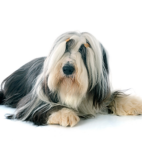 Bearded Collie.png