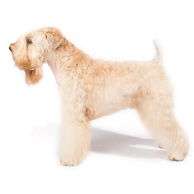 Soft-Coated Wheaten Terrier.png