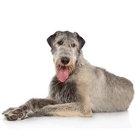Irish Wolfhound.png