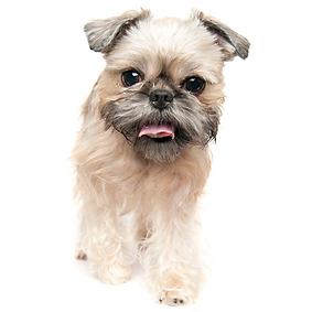 Brussels Griffon.png