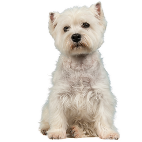 West Highland White Terrier (Westie).png