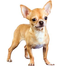 Chihuahua (Smooth Coat).png