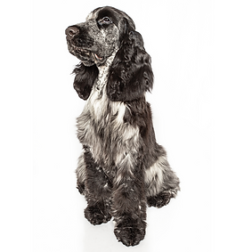 English Cocker Spaniel.png