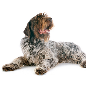 Griffon Wire Haired Pointing Dog.png