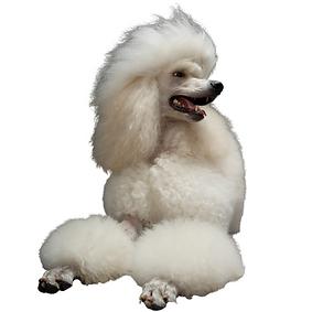 Standard Poodle.png