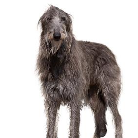 Scottish Deerhound.png