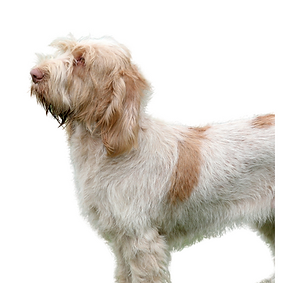 Spinone Italiano.png