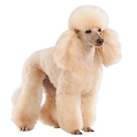 Miniature Poodle.png
