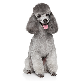 Toy Poodle.png