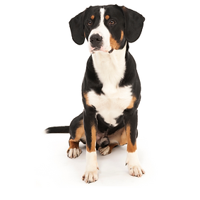 Entlebucher Mountain Dog.png
