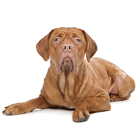 Dogue De Bordeaux.png