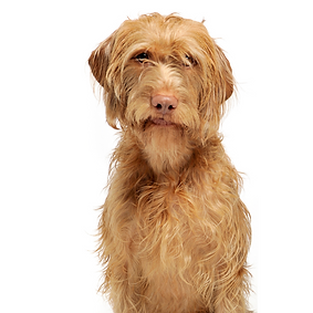 Vizsla (Wire Haired).png