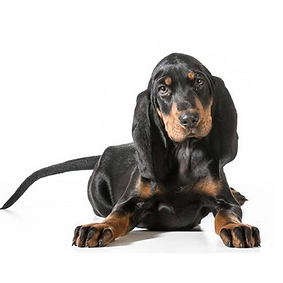 Black and Tan Coonhound.png