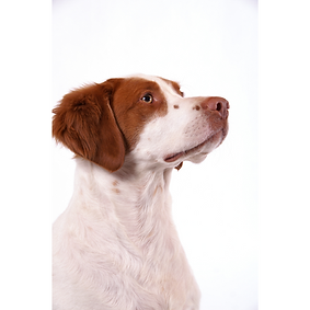 Brittany Spaniel.png