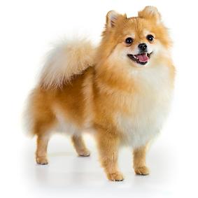 Pomeranian.png