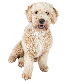Spanish Water Dog.png