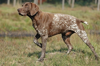 German Pointer.jpg