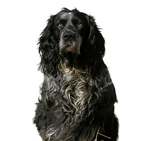 Blue Picardy Spaniel.png