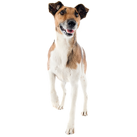 Fox Terrier (Smooth).png