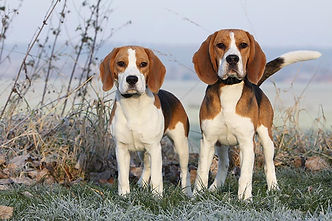 Beagles-standing-in-a-frosty-field-on-a-