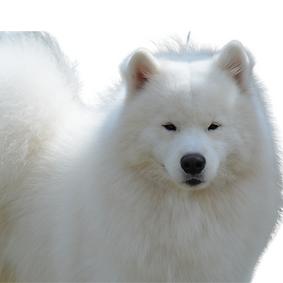 American Eskimo Dog (Standard).png