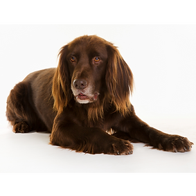 German Long Haired Pointer.png
