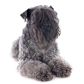 Kerry Blue Terrier.png