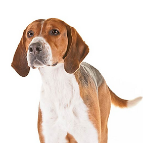 Foxhound (English).png