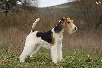 fox-terrier-hereditary-health-and-geneti