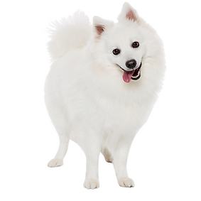 Japanese Spitz.png