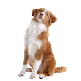 Nova Scotia Duck Tolling Retriever (Toll