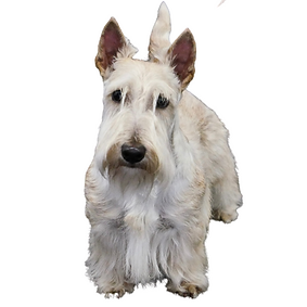 Sealyham Terrier.png