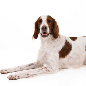Irish Red and White Setter.png