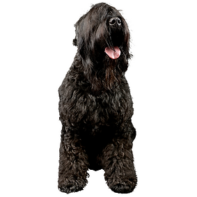 Black Russian Terrier.png